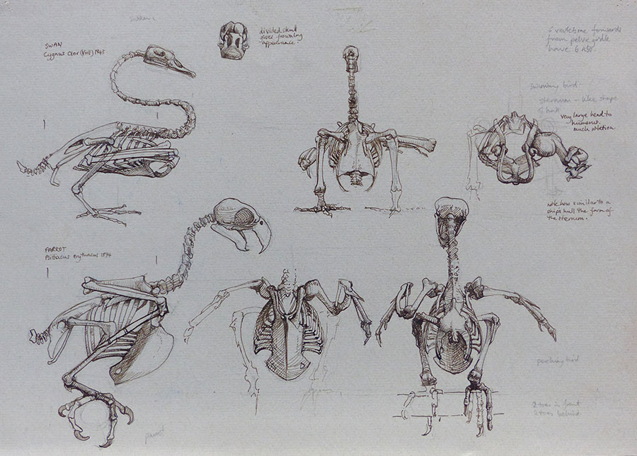 Parrot and Swan skeletal studies